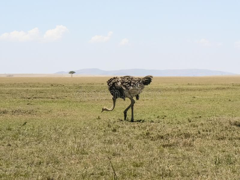 Στρουθοκάμηλος στο σαφάρι σαβανών στην Κένυα στοκ εικόνες με δικαίωμα ελεύθερης χρήσης