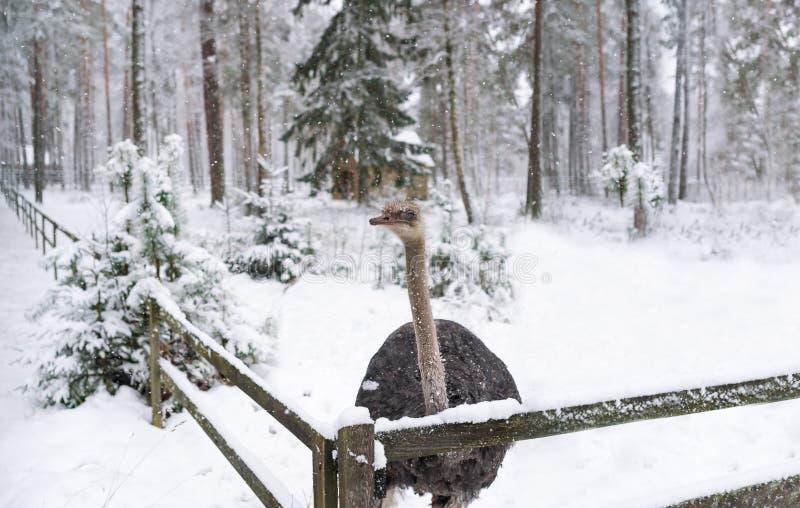 Στρουθοκάμηλος το χειμώνα στο αγρόκτημα στοκ εικόνες