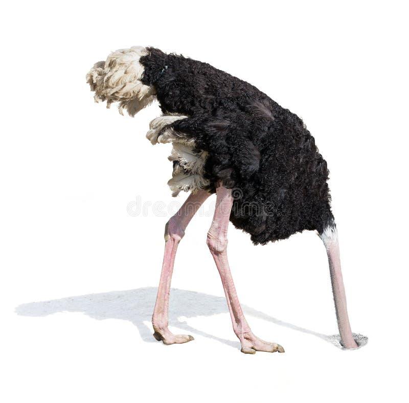 Στρουθοκάμηλος που θάβει το κεφάλι στην άμμο που αγνοεί τα προβλήματα στοκ εικόνες