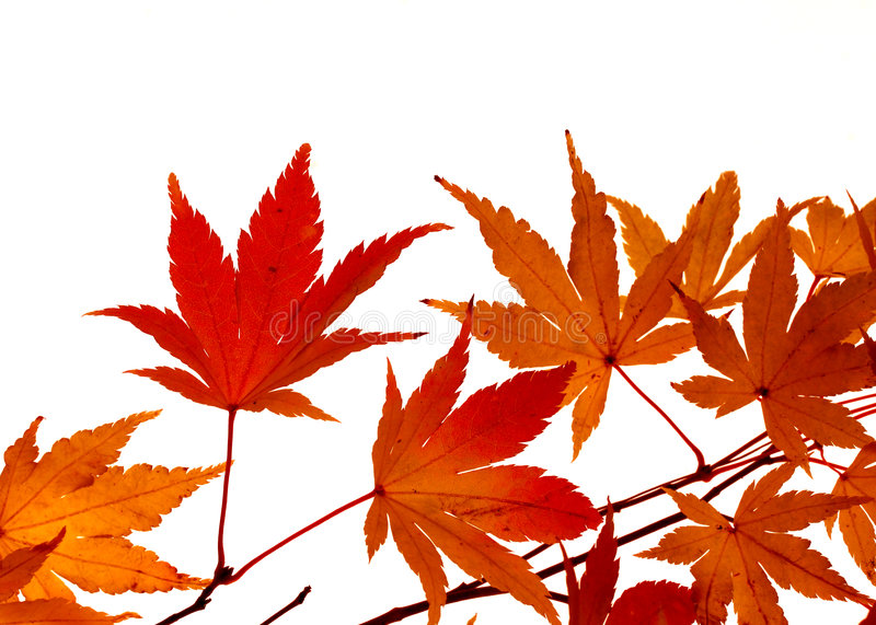 στροφή σφενδάμνου φύλλων χρώματος στοκ φωτογραφία με δικαίωμα ελεύθερης χρήσης