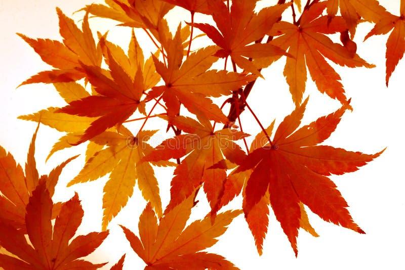 στροφή σφενδάμνου φύλλων χρώματος στοκ εικόνα με δικαίωμα ελεύθερης χρήσης