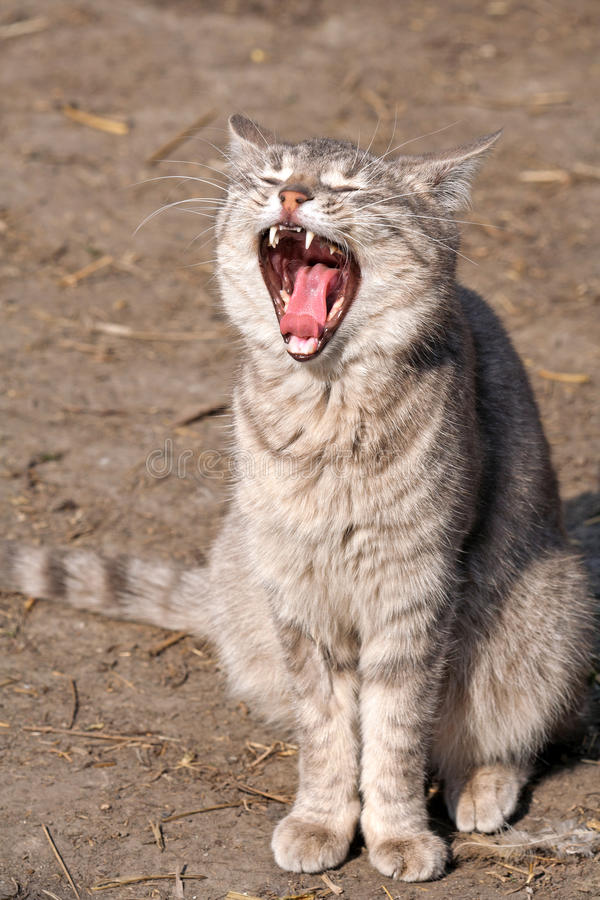 στόμα γατών ανοικτό στοκ φωτογραφία με δικαίωμα ελεύθερης χρήσης