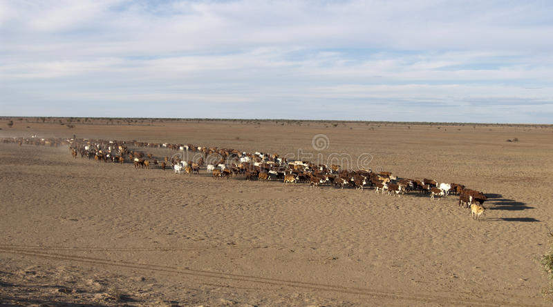 Συγκέντρωση βοοειδών στοκ εικόνες