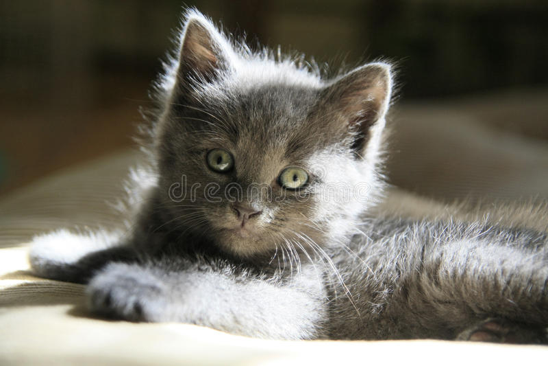 Συγκεχυμένο γκρίζο γατάκι στοκ φωτογραφία