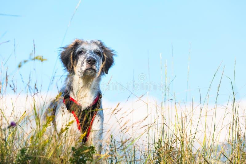 Συγκεχυμένο σκυλί στην πράσινα χλόη και τα υψηλά βουνά και μπλε ουρανός στο υπόβαθρο, έννοια ταξιδιού ελευθερίας, διάστημα αντιγρ στοκ φωτογραφίες