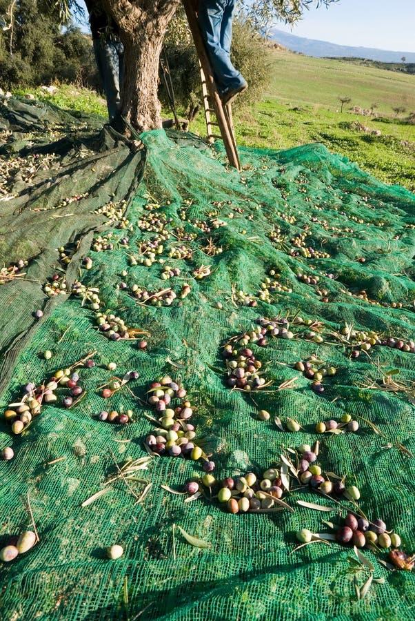 συγκομίζοντας δέντρο σκαλοπατιών ελιών ατόμων στοκ φωτογραφία με δικαίωμα ελεύθερης χρήσης