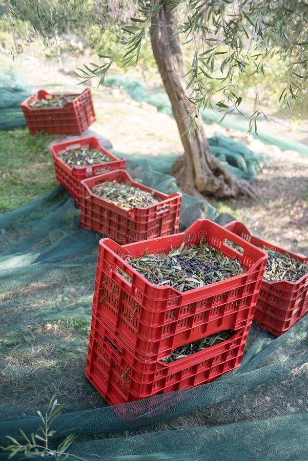 Συγκομίζοντας ελιές στοκ εικόνες με δικαίωμα ελεύθερης χρήσης