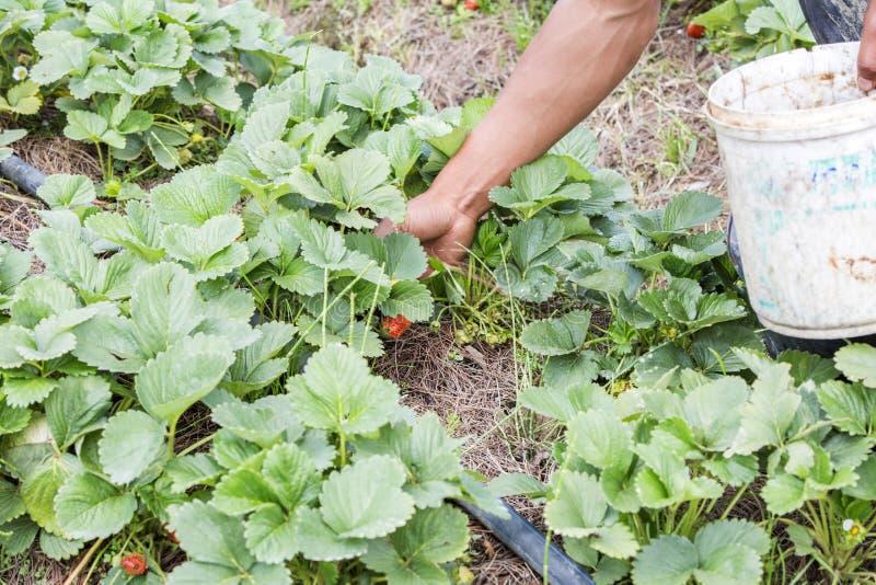 Συγκομίζοντας φράουλες στοκ εικόνα με δικαίωμα ελεύθερης χρήσης