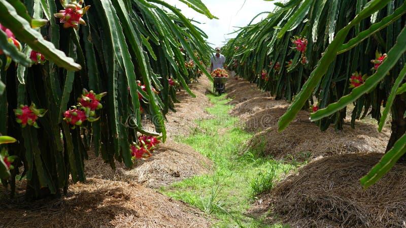 Συγκομίζοντας φρούτα δράκων, καροτσάκι φρούτων δράκων στοκ εικόνες
