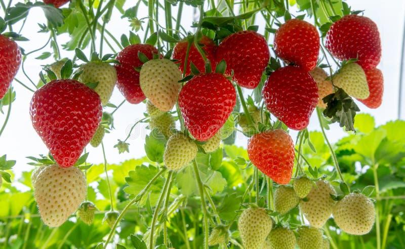 Συγκομιδή των φρέσκων ώριμων μεγάλων κόκκινων φρούτων φραουλών ολλανδικό σε πράσινο στοκ εικόνες