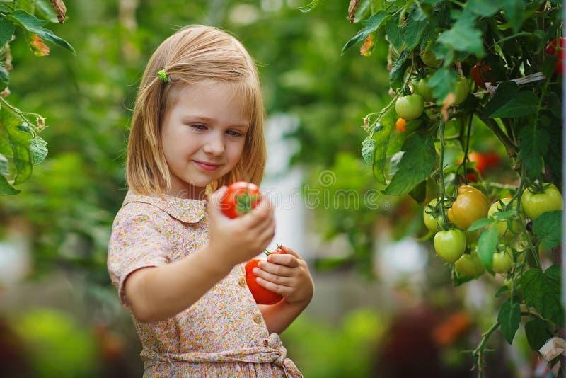 Συγκομιδή κοριτσιών και ντοματών στοκ εικόνες με δικαίωμα ελεύθερης χρήσης