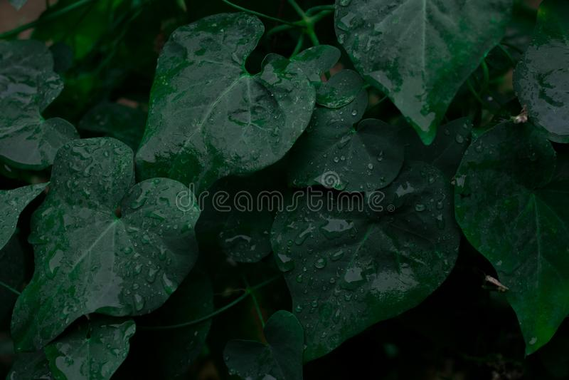 Συγκρατημένος φωτισμός, υπόβαθρο φύσης, φύλλα με τις πτώσεις βροχής στοκ φωτογραφία