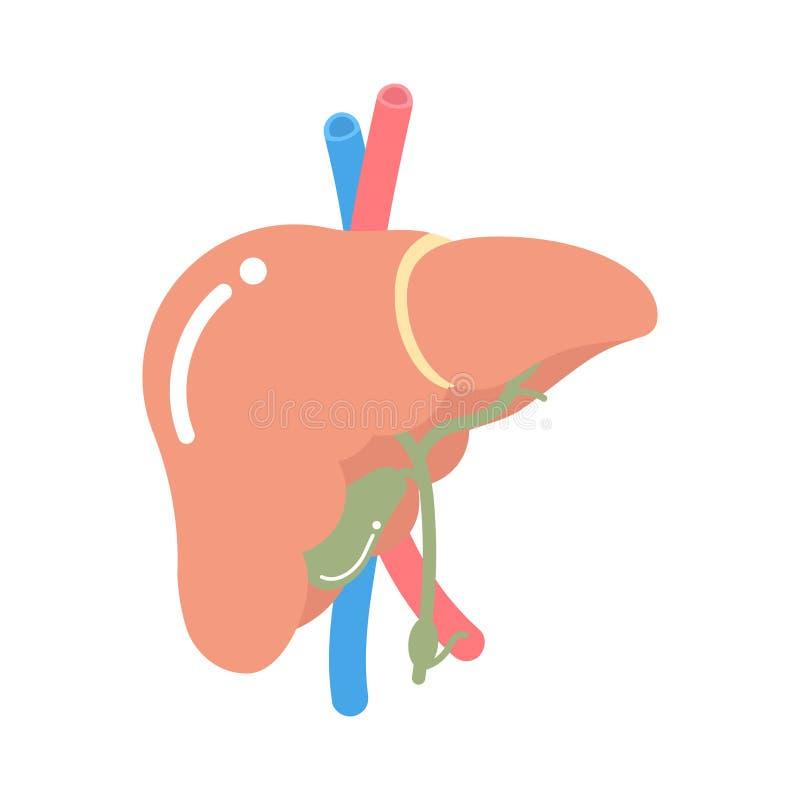 Συκώτι, εσωτερικό νευρικό σύστημα μελών του σώματος ανατομίας οργάνων απεικόνιση αποθεμάτων