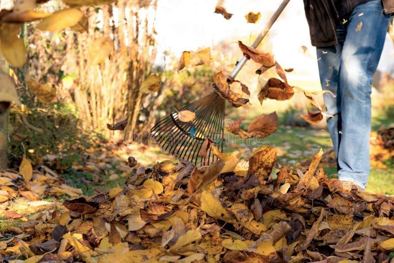 Συλλέξτε τα φύλλα φθινοπώρου κάτω από ένα δέντρο κερασιών σε έναν κήπο στοκ φωτογραφίες