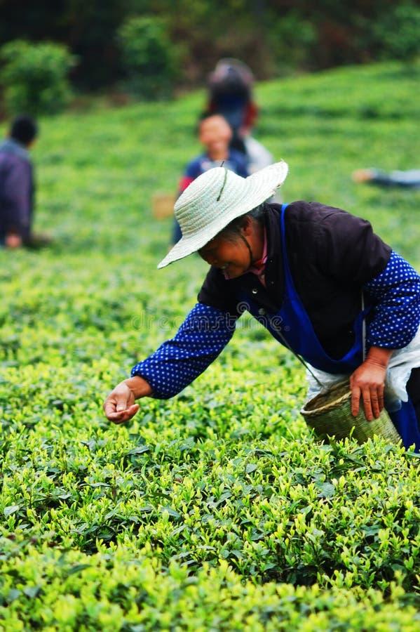 συλλέξτε το τσάι ανθρώπων π στοκ φωτογραφίες