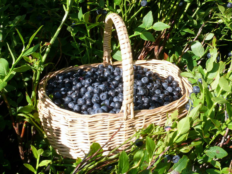 συλλέξτε forrestberries στοκ εικόνες
