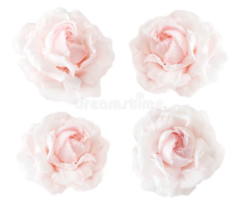 Συλλογή ή σύνολο όμορφων ρόδινων τριαντάφυλλων κρέμας που απομονώνεται στο άσπρο υπόβαθρο Ανθίζοντας ανοικτά κεφάλια των τριαντάφ στοκ φωτογραφίες με δικαίωμα ελεύθερης χρήσης