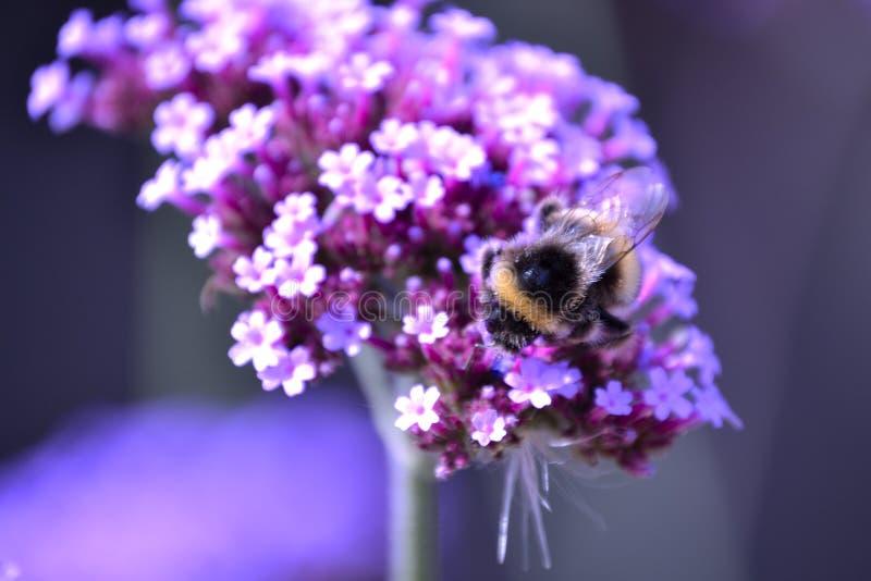 Συλλογή μελισσών Bumble στοκ εικόνες