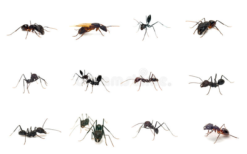 συλλογή μυρμηγκιών στοκ εικόνες με δικαίωμα ελεύθερης χρήσης