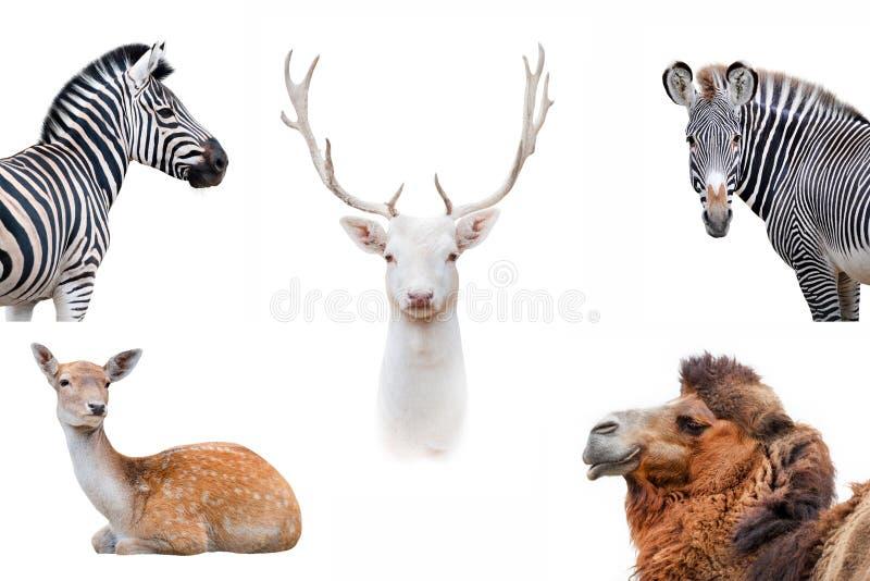 Συλλογή που απομονώνεται ζωική στοκ εικόνες
