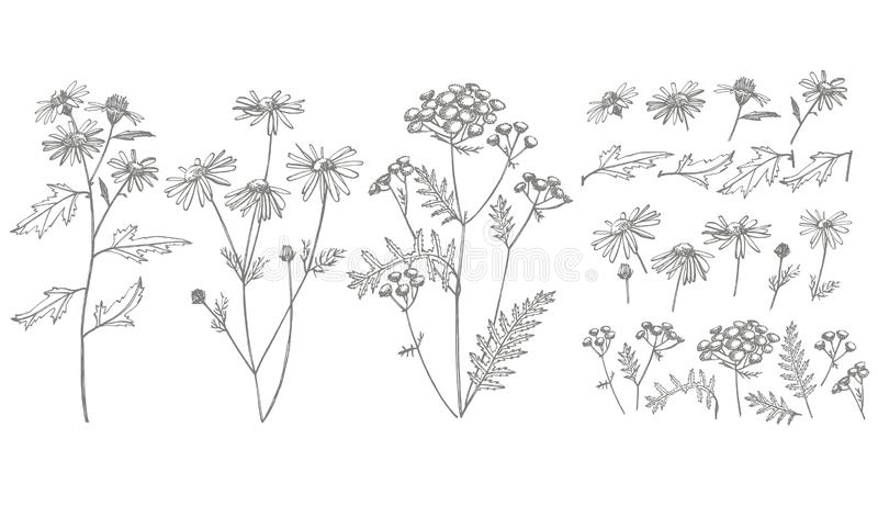 Συλλογή συρμένων των χέρι λουλουδιών και των χορταριών Βοτανική απεικόνιση εγκαταστάσεων Εκλεκτής ποιότητας ιατρικό σύνολο σκίτσω ελεύθερη απεικόνιση δικαιώματος