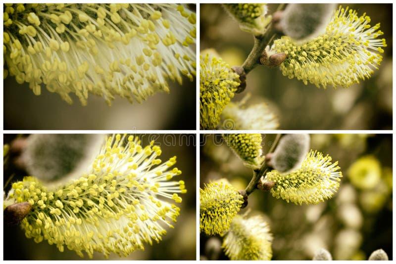 Συλλογή του όμορφου άνθους Catkins στην άνοιξη Χρόνος Πάσχας στοκ εικόνες με δικαίωμα ελεύθερης χρήσης