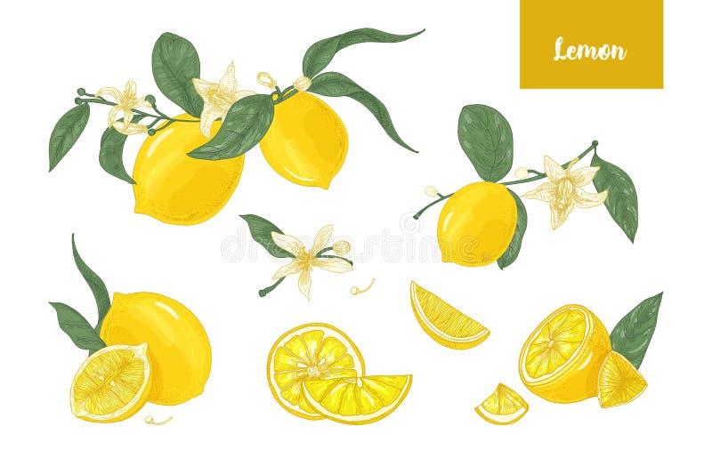 Συλλογή των λεπτομερών σχεδίων των λεμονιών συνόλου και περικοπών, των κλάδων, των λουλουδιών και των φύλλων που απομονώνονται στ ελεύθερη απεικόνιση δικαιώματος