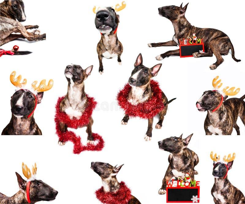 Συλλογή Χριστουγέννων τεριέ του Bull στοκ εικόνα