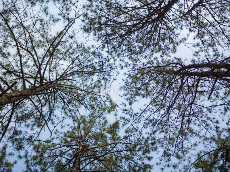 Συμβούλευση δέντρων πεύκων στον ουρανό στοκ φωτογραφία