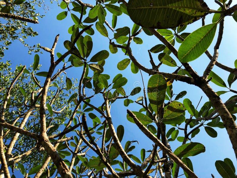 Συμβούλευση στα πράσινους φύλλα και τον κλάδο στο μπλε ουρανό στοκ φωτογραφίες