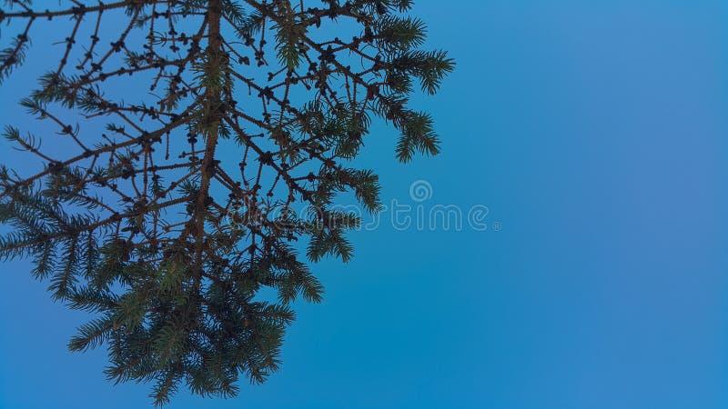 Συμμετρικός όμορφος κλάδος χριστουγεννιάτικων δέντρων στο σκούρο μπλε υπόβαθρο ουρανού στοκ φωτογραφία