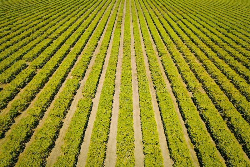 Συμμετρικό αγρόκτημα μάγκο στοκ φωτογραφίες