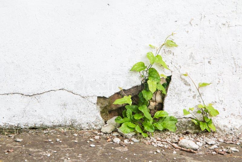 Συμπαγής τοίχος Grunge και πράσινες εγκαταστάσεις, υπόβαθρο και σύσταση Εκλεκτής ποιότητας τόνος στοκ φωτογραφίες με δικαίωμα ελεύθερης χρήσης
