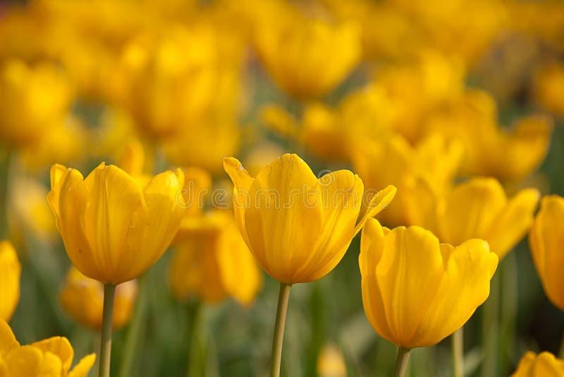 Download συμπαθητική τουλίπα Monsella χρώ&mu Στοκ Εικόνα - εικόνα από διακόσμηση, floral: 13187013