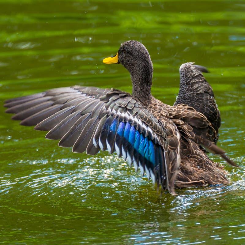 Συμπεριφορά των αγριοχήνων σε μια μικρή λίμνη στοκ εικόνα με δικαίωμα ελεύθερης χρήσης
