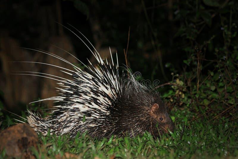 Συμπεριφορά porcupine τη νύχτα στοκ εικόνες