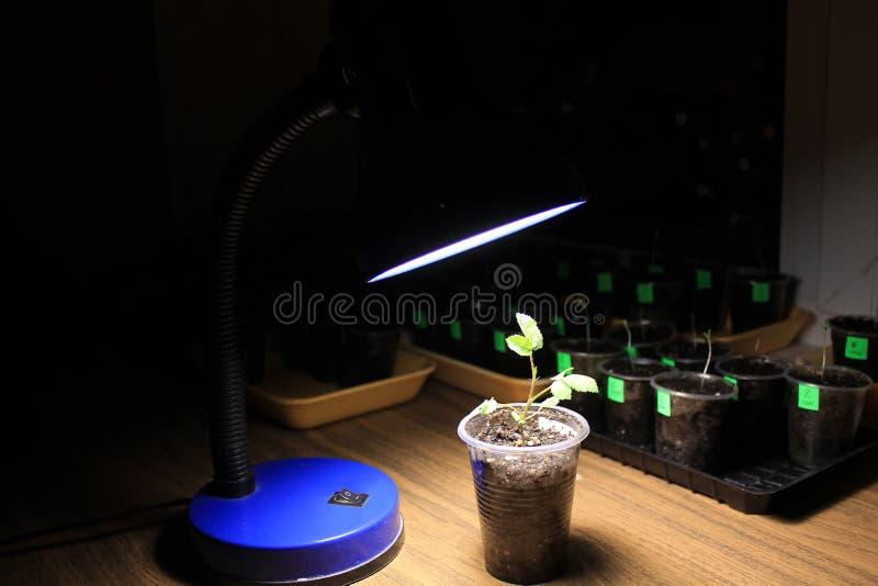 Συμπληρωματικός φωτισμός του νέου νεαρού βλαστού του ροδαλού λουλουδιού την πρώιμη άνοιξη από το λαμπτήρα των οδηγήσεων στο σπίτι στοκ φωτογραφίες