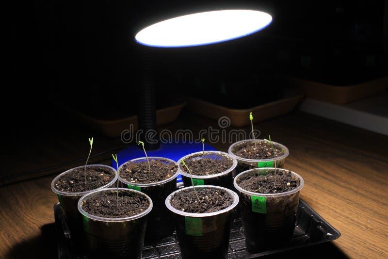 Συμπληρωματικός φωτισμός των σποροφύτων ντοματών την πρώιμη άνοιξη από το λαμπτήρα των οδηγήσεων στο σπίτι Μπροστινή όψη στοκ εικόνες