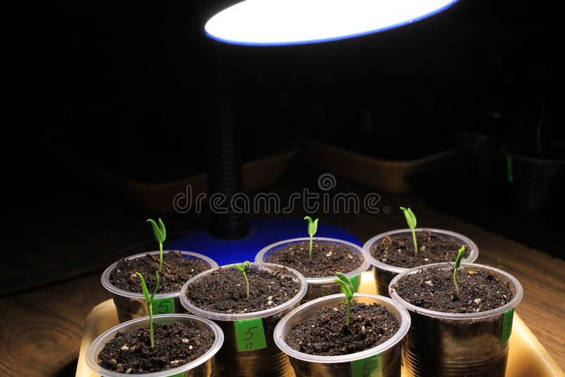 Συμπληρωματικός φωτισμός των σποροφύτων πιπεριών την πρώιμη άνοιξη από το λαμπτήρα των οδηγήσεων στο σπίτι closeup στοκ φωτογραφίες