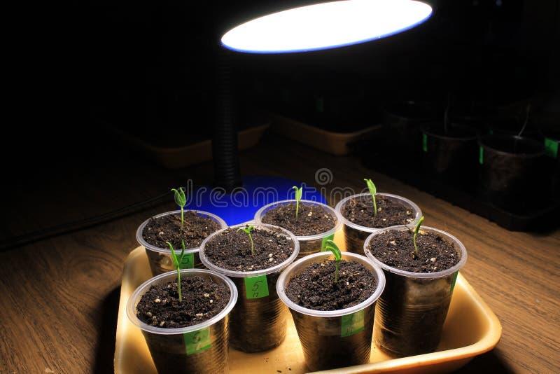 Συμπληρωματικός φωτισμός των σποροφύτων πιπεριών την πρώιμη άνοιξη από το λαμπτήρα των οδηγήσεων στο σπίτι closeup στοκ φωτογραφίες με δικαίωμα ελεύθερης χρήσης