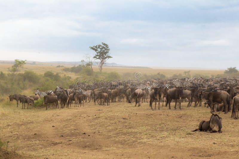 Συμφόρηση των herbivores Κένυα στοκ εικόνες