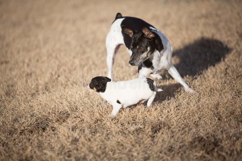 Συνάντηση κουταβιών και σκύλων στοκ εικόνες