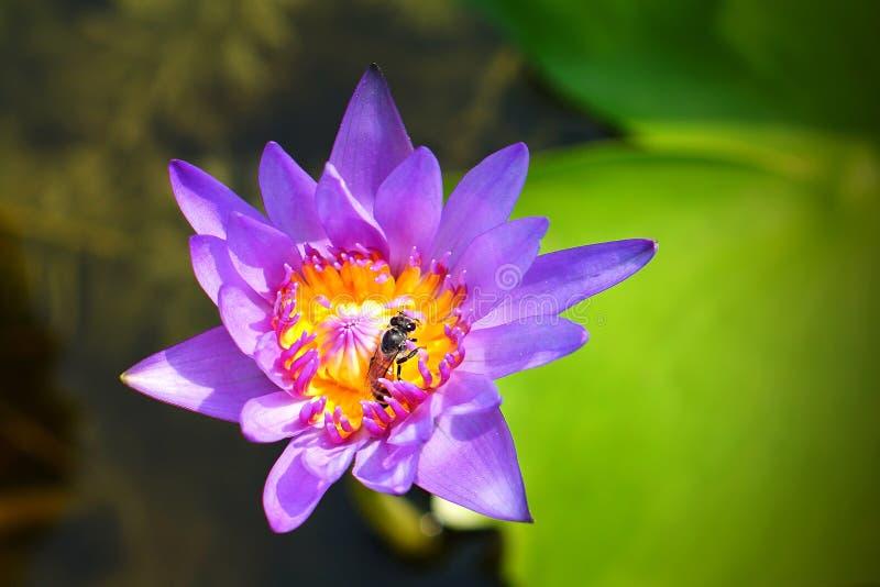 Συνήθεια μελισσών με το naural πορφυρό λωτό στοκ φωτογραφίες με δικαίωμα ελεύθερης χρήσης