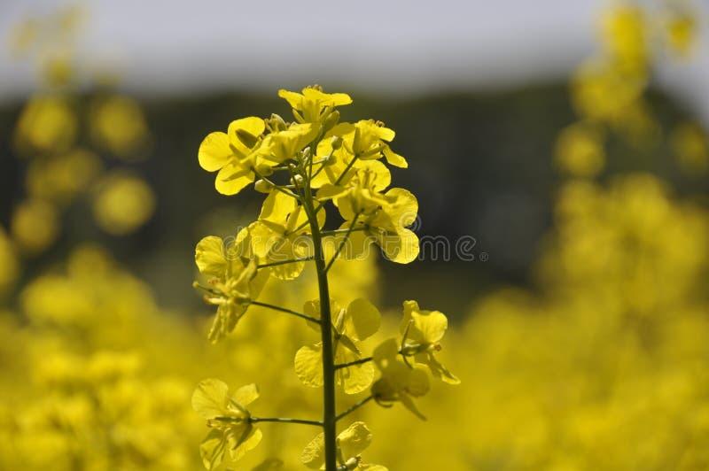 συναπόσπορος λουλουδιών στοκ εικόνες