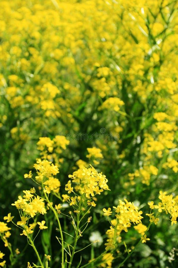 συναπόσπορος λουλου&de στοκ εικόνες με δικαίωμα ελεύθερης χρήσης
