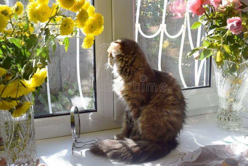 Συνεδρίαση γατών σε μια στρωματοειδή φλέβα παραθύρων και κοίταγμα έξω στοκ εικόνες