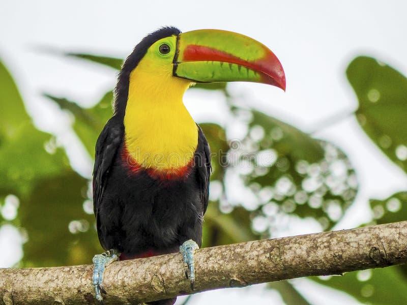 συνεδρίαση κλάδων toucan στοκ φωτογραφίες