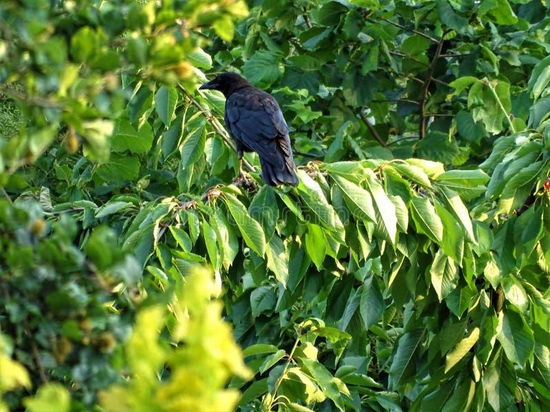 Συνεδρίαση κοράκων Carrion σε ένα δέντρο κερασιών στοκ εικόνες