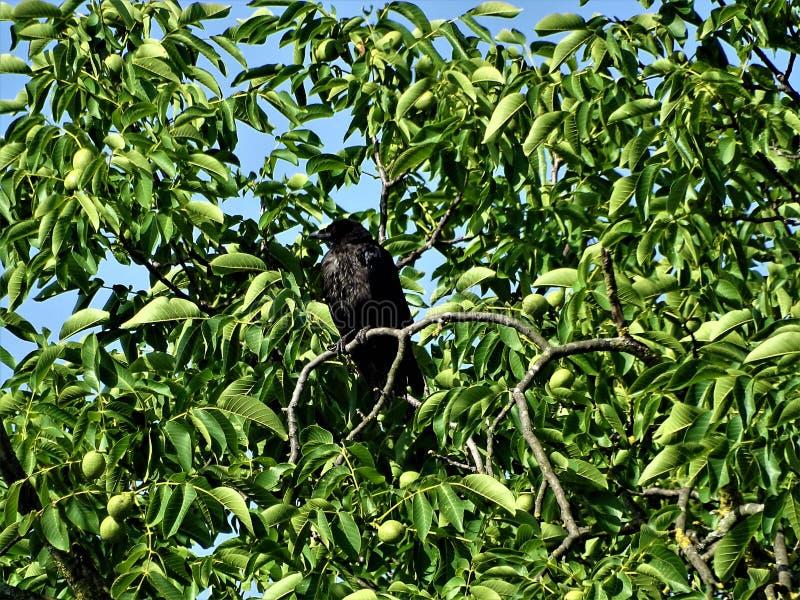 Συνεδρίαση κοράκων Carrion σε ένα δέντρο ξύλων καρυδιάς στοκ εικόνες