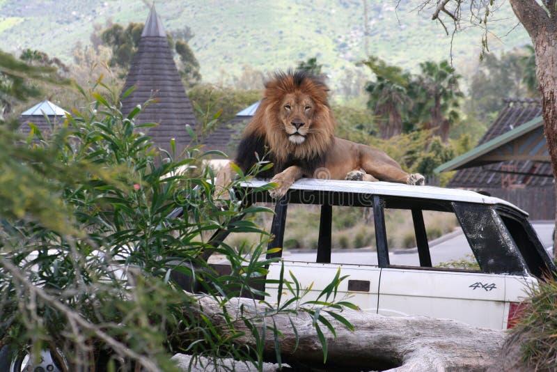 Συνεδρίαση λιονταριών σε ένα αυτοκίνητο στοκ εικόνα με δικαίωμα ελεύθερης χρήσης